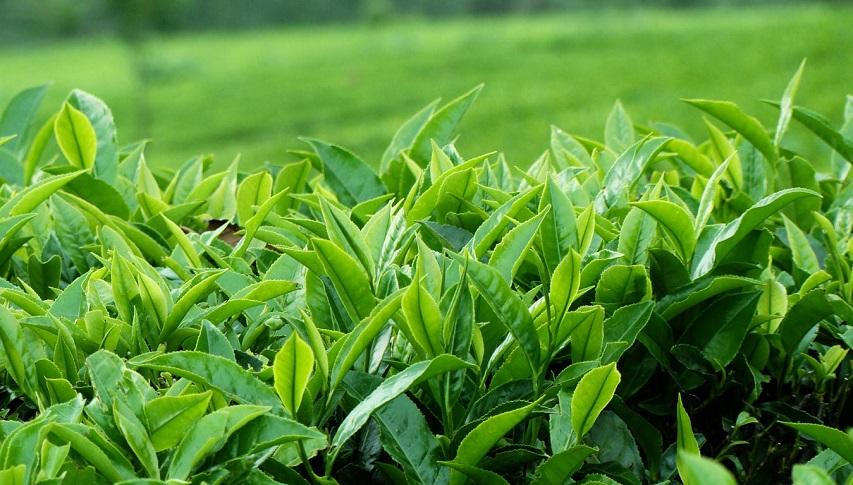 sản phẩm trà xanh